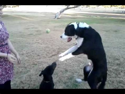 Great Dane Puppy and Border Collie Mix Playing - YouTube