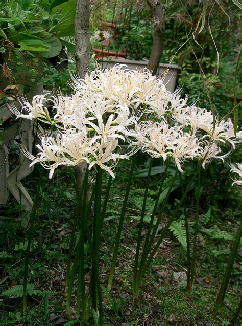 Lycoris × albiflora - Wikispecies