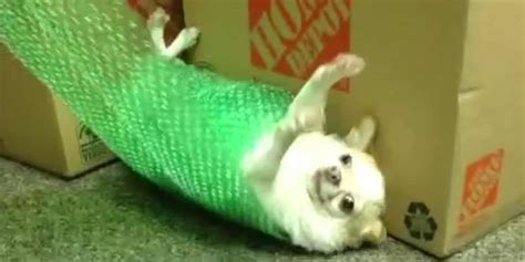 Watch dog rolled up in bubble wrap! - Fun Kids - the